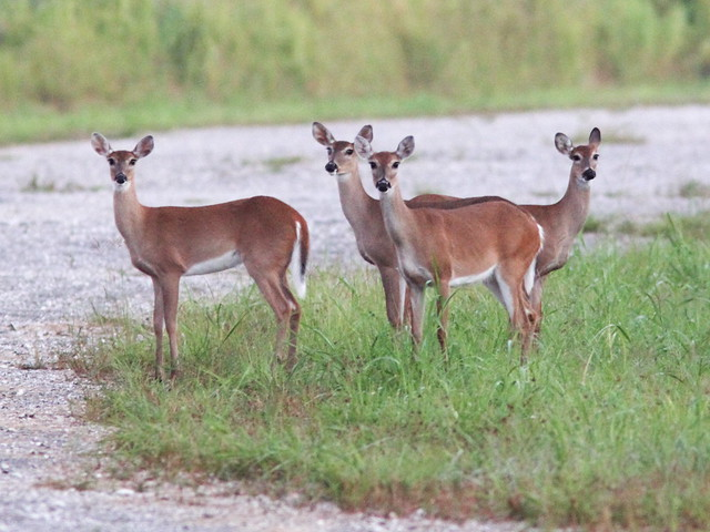 White-tailed Deer doe and yearlings 20131015