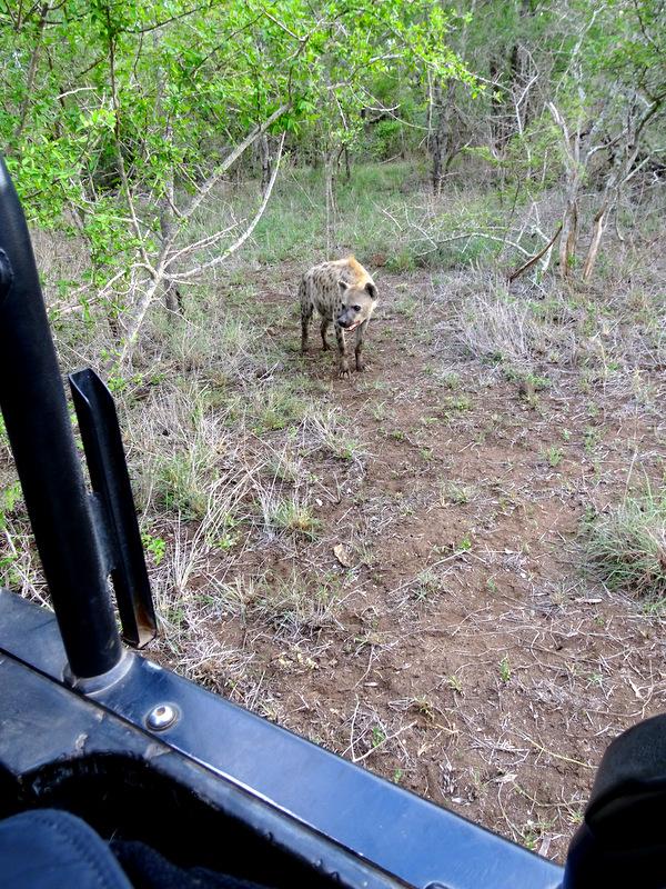 Lion Sands Safari Day 3- Hyena