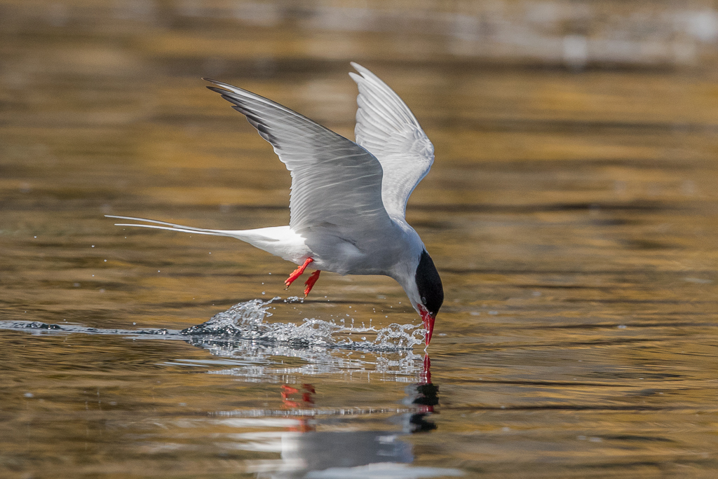 Arctic Tern    Isle of May,Scotland 2016