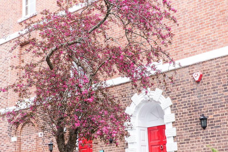 Blossom in Exeter, Devon (photo: Kate Forster)