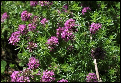 Crucianella stylosa -Phuopsis stylosa (3)