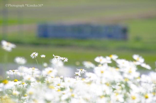 カモミール畑か②