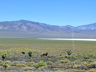 Wild horses in Nevada desert