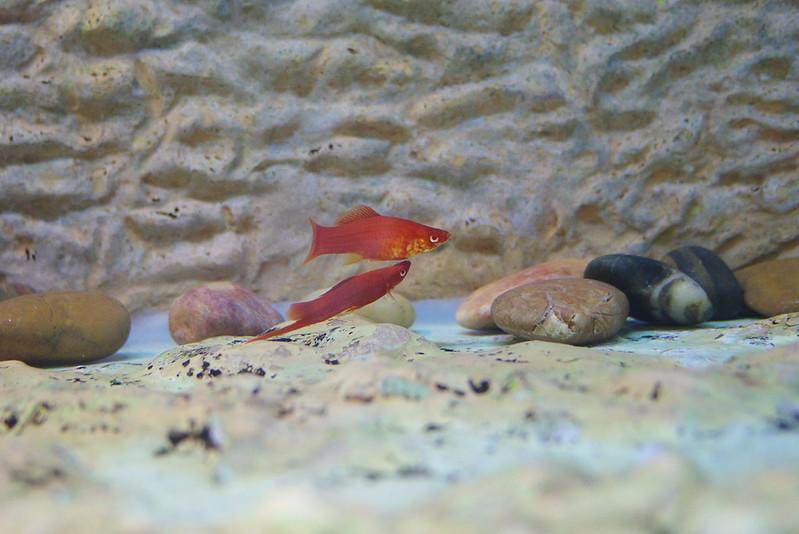 K-1 拍魚
