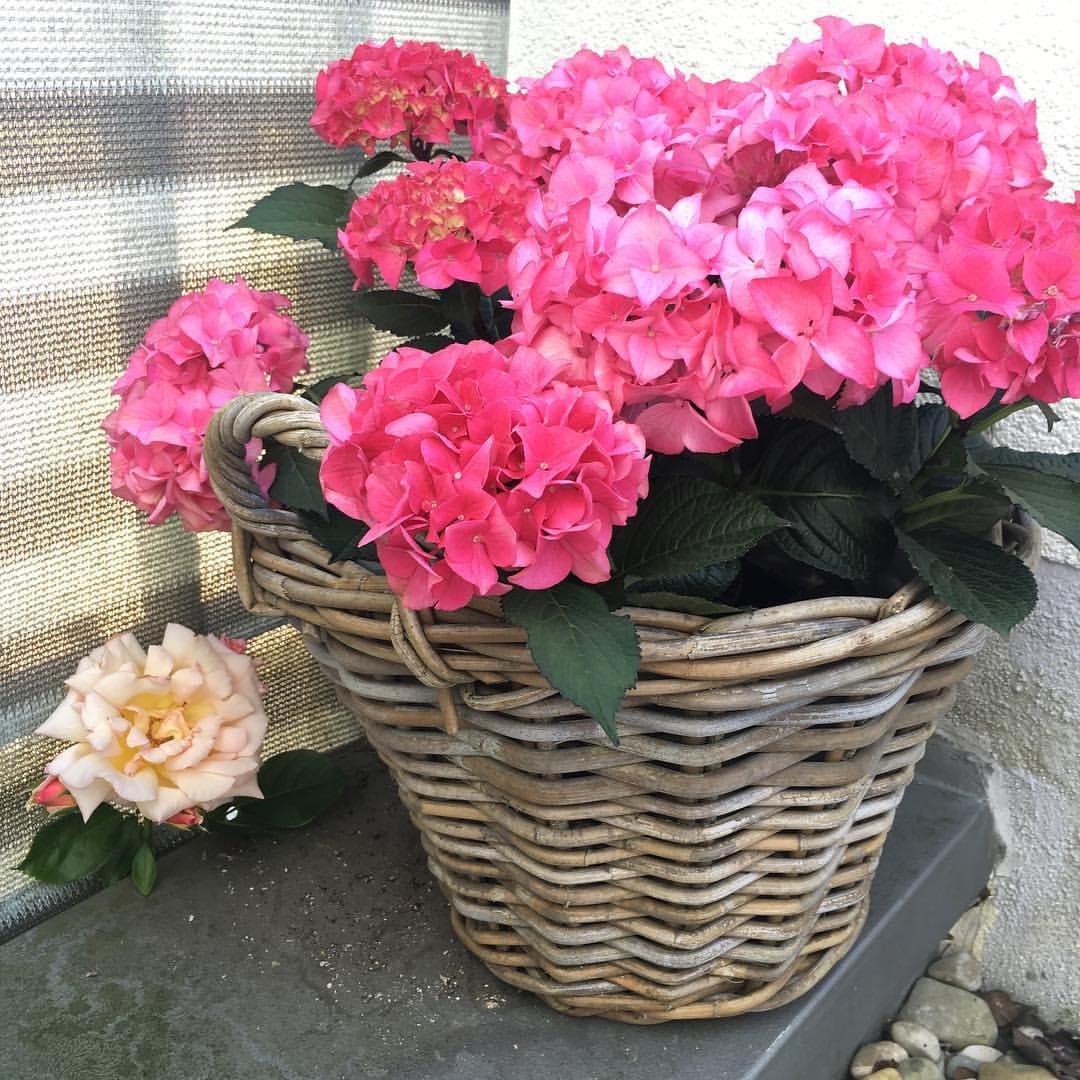 Eindringling;-) // К нам на террасу забралась одинокая  роза с куста, растущего внизу у подъезда. Цветет и прекрасно себя чувствует