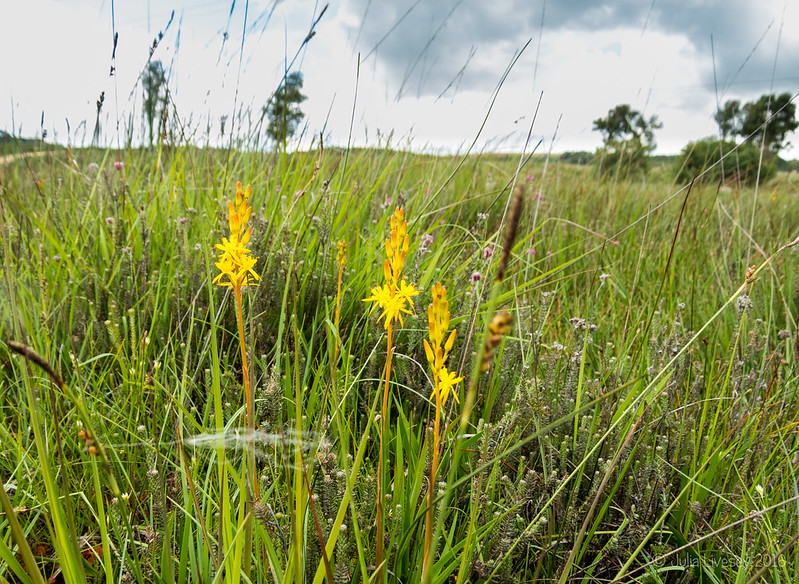 The Bog Asphodel are out