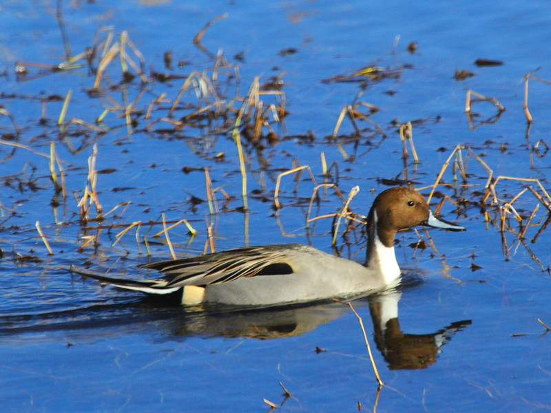 IMG_2284 Northern Pintail, Bosque del Apache NWR