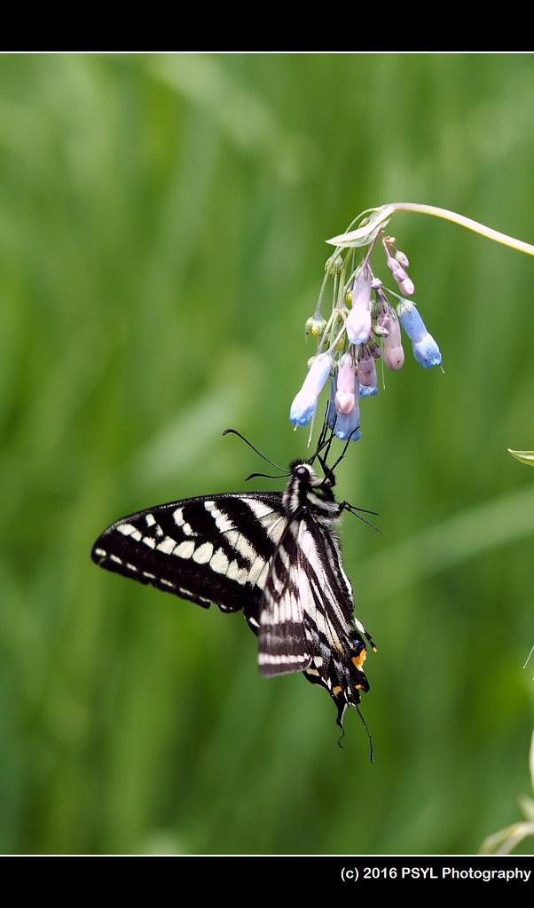 Pale Swallowtail (Papilio eurymedon) on Mertensia longipedunculata