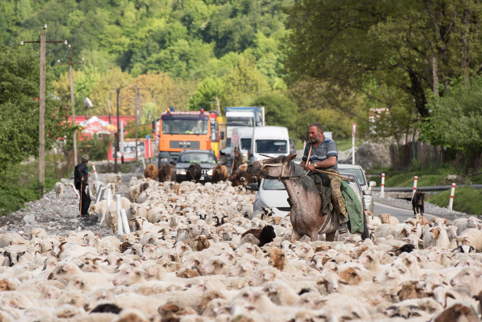 Roadway Shepherd
