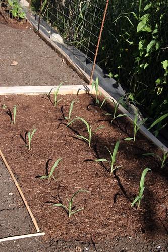 Vegetable Garden 2016
