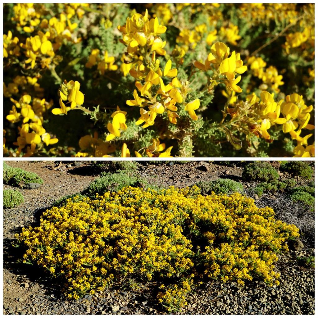 Codeso vegetacion Teide