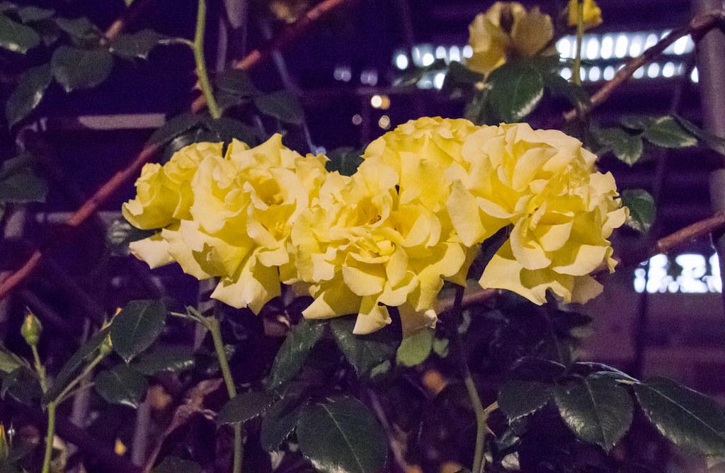 160514_03_nakanoshima_rose2016_021