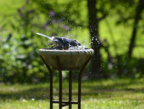 Bluejay in birdbath