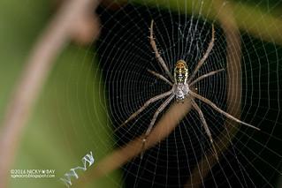 Dang's cross spider (Argiope dang) - DSC_3096