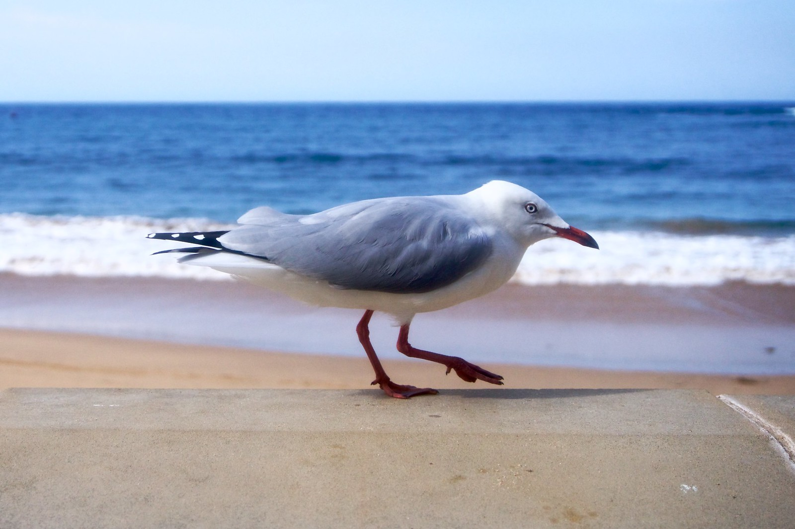 A seagull at Terrigal Beach