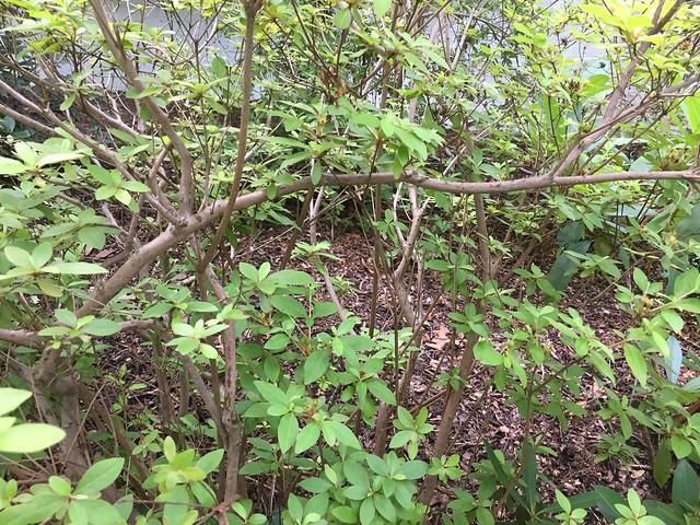 Azalea pruning time