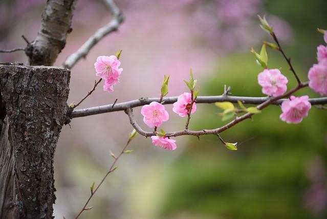 ume blossoms 7