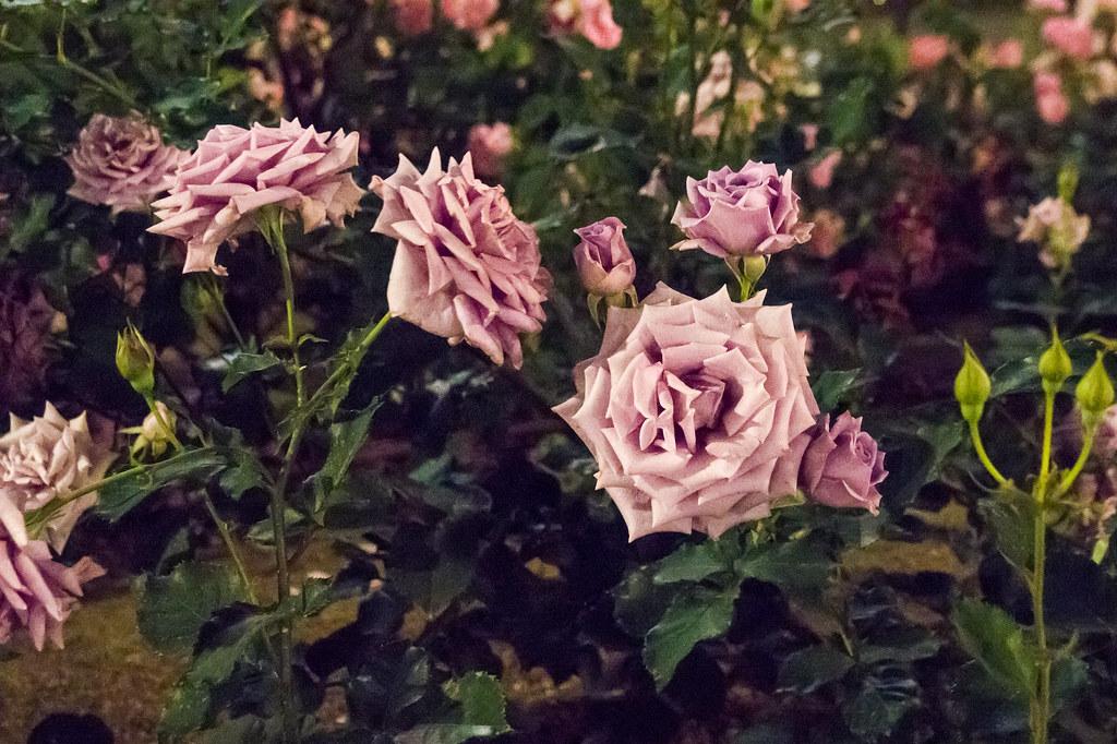 160514_03_nakanoshima_rose2016_027