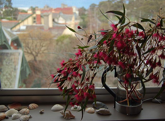 _eucalipt_flowers_