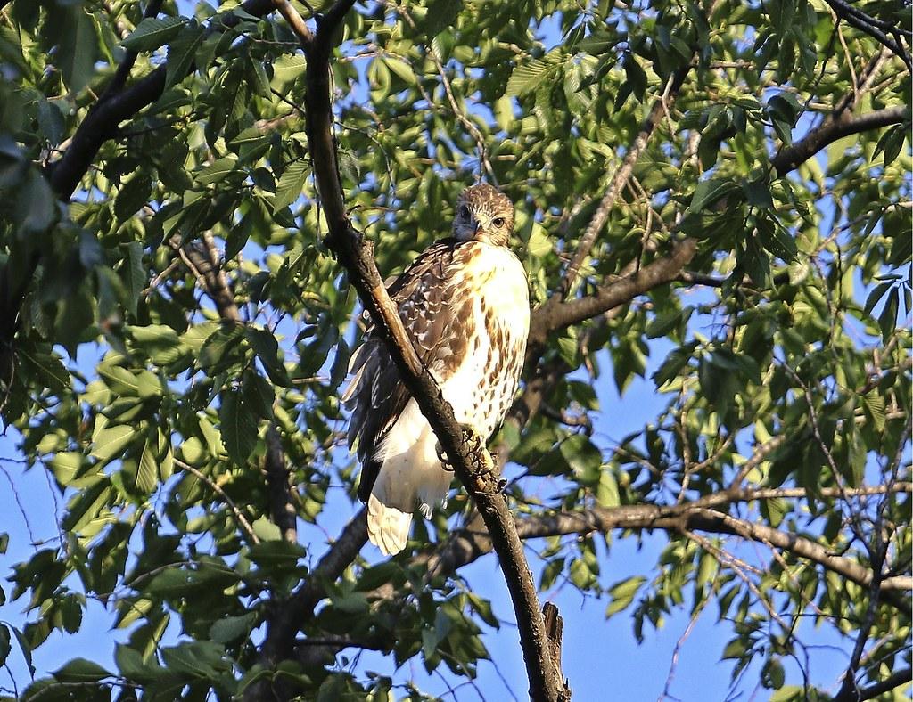 Tompkins Square fledgling