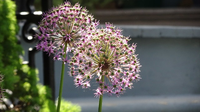 Allium in the Sunshine