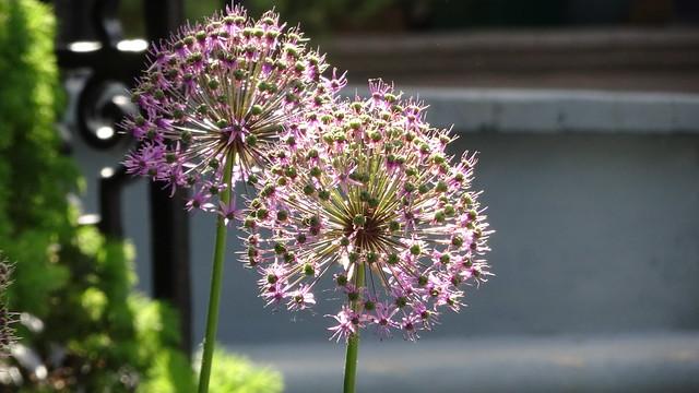 Allium in the Sunshine