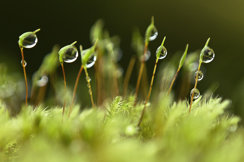 Droplets on Moss Macro