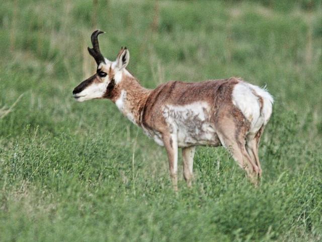Pronghorn Antelope 02-20160616