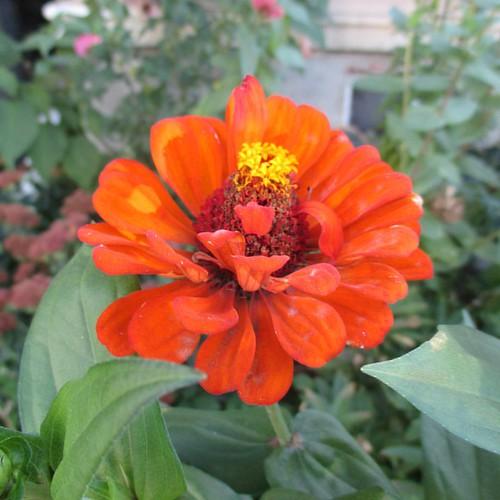 Orange #toronto #flowers #zinnia #latergram #orange