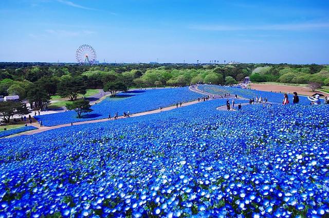 0001hitachi-seaside-park-7