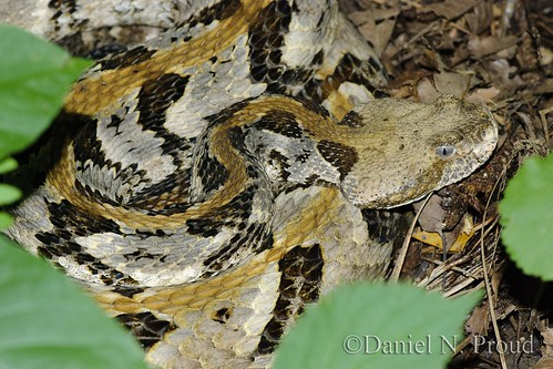 a research on the crotalus horridus Timber rattlesnake, crotalus horridus status: state: endangered federal: not listed  timber rattlesnake research has been limited to the efforts of only a few.