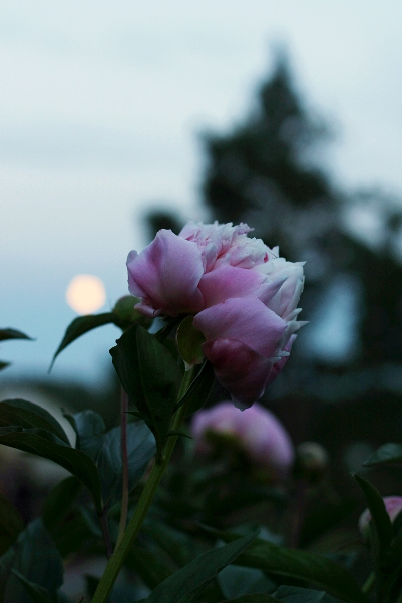 Peonies at night