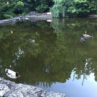 Meyer Lake ducks in Lithia Park, Ashland Oregon 2 July 2016