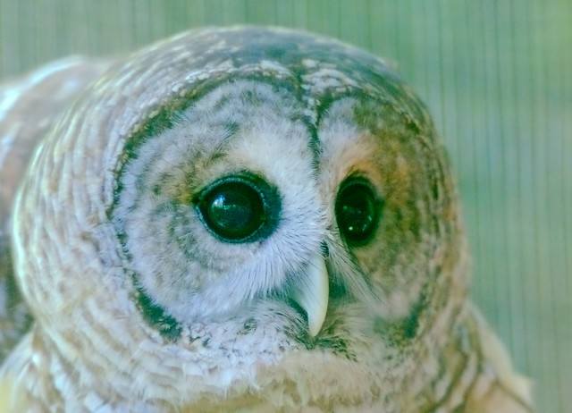 Barred Owl_4