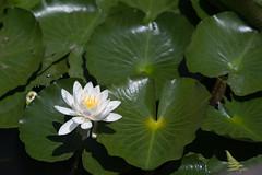 Lotus flowers at Koishiakwa Korakuen, Tokyo Japan