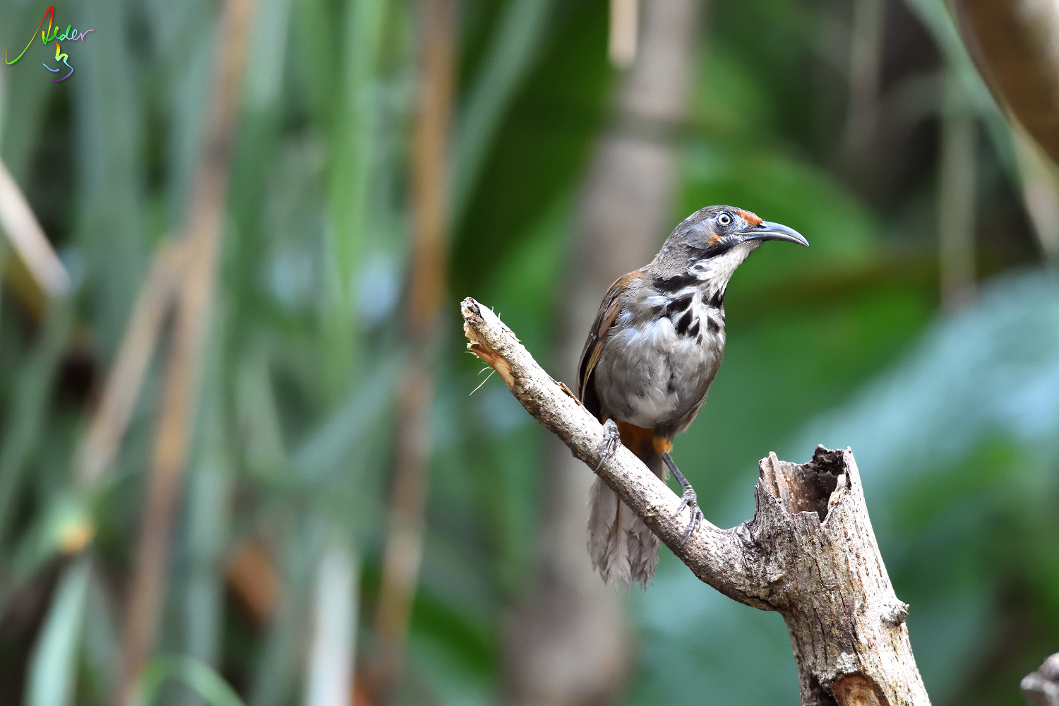 Rusty-cheeked_Scimitar_Babbler_5093