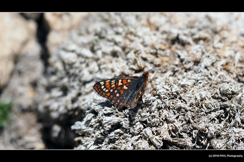 Chalcedon Checkerspot (Euphydryas chalcedona)