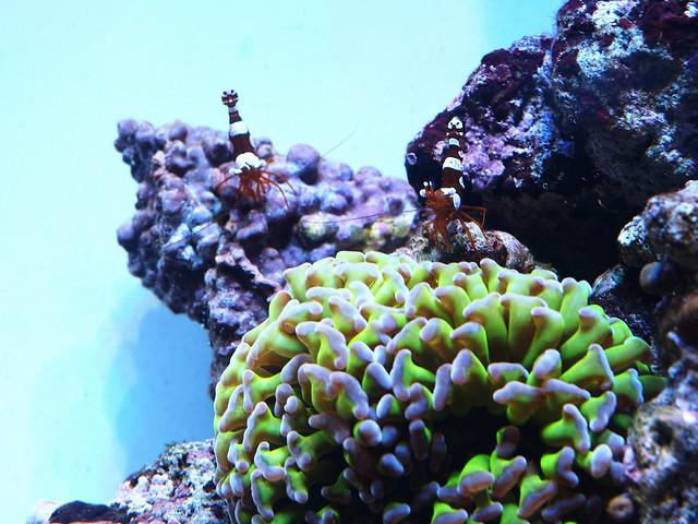 P5285442 性感蝦 榔頭珊瑚