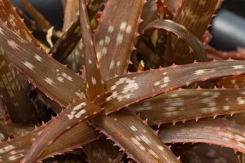 Aloe bakeri Scott-Elliot (1891)