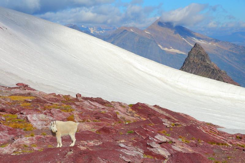 IMG_5559 Mountain Goat and Little Matterhorn, Glacier National Park