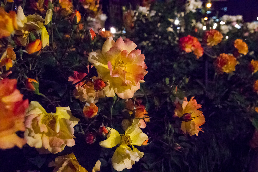 160514_03_nakanoshima_rose2016_020