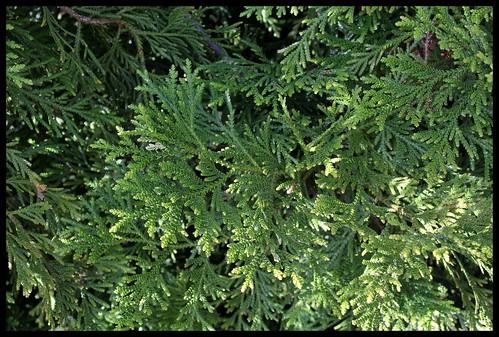 thuyopsis (4)