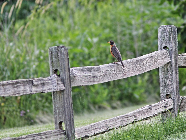 Robin on a fence 20160628