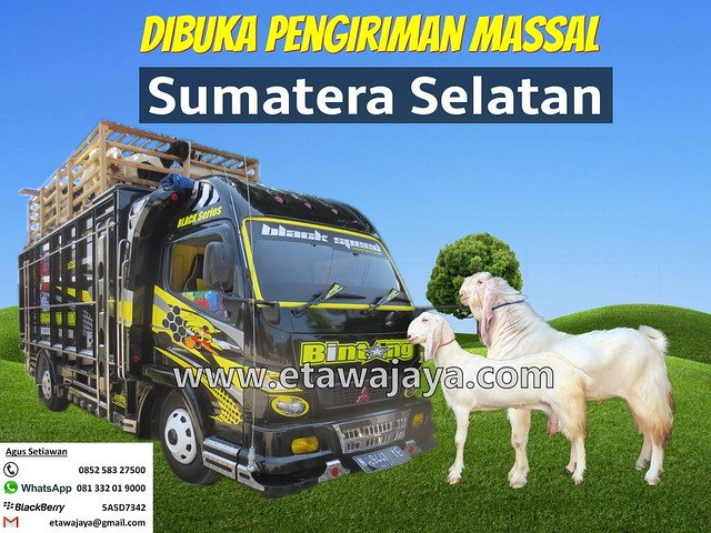 pengiriman-kambing-etawa-sumatera-selatan-2016