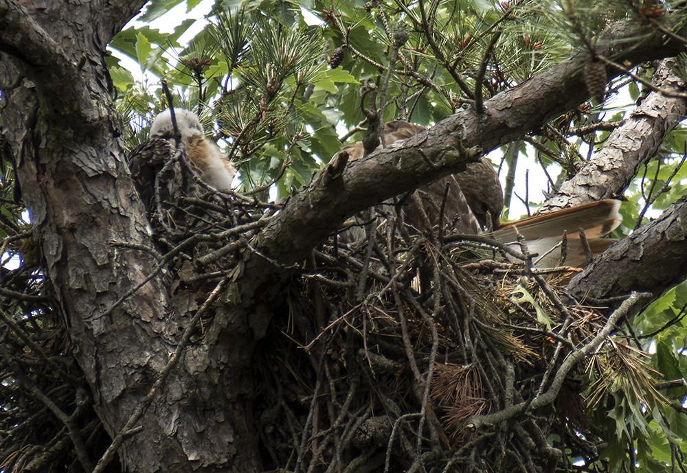 baby hawk with momma preening