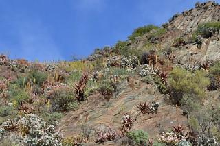 Aloe microstigma  アロエ ミクロスティグマ