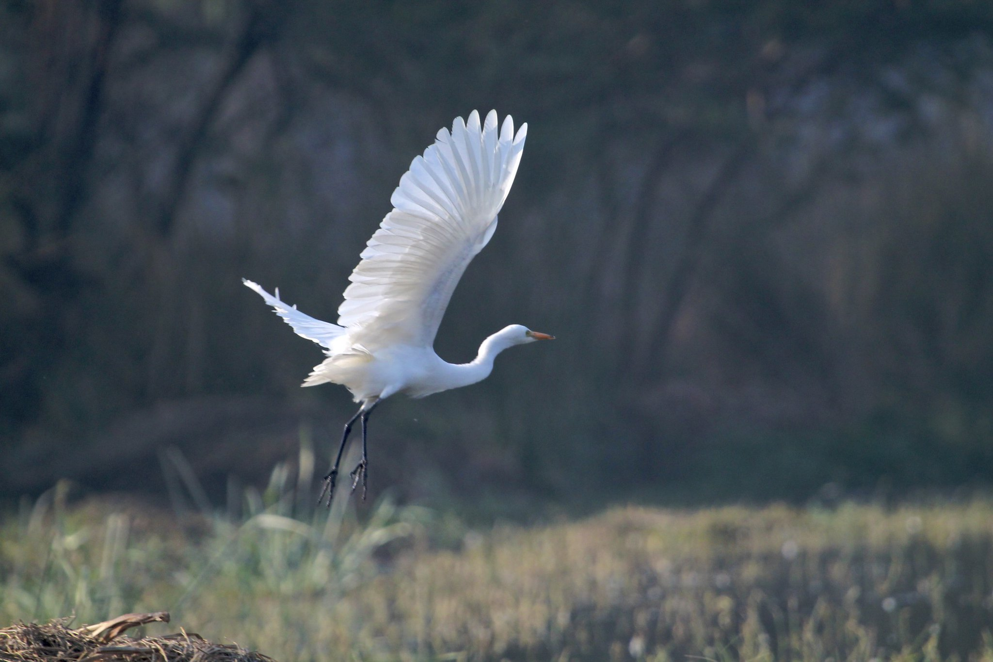 Egret at Sultanpur