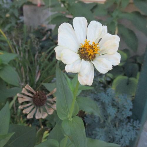 White #toronto #flowers #zinnia #latergram #white