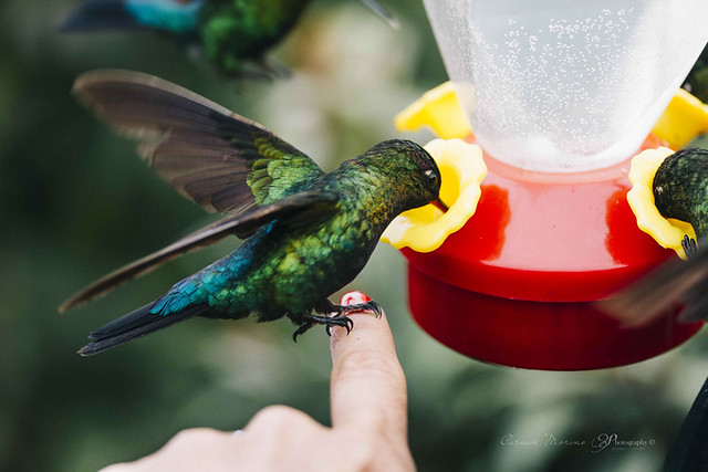 Colibrí {Hummingbird}