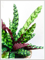 Captivating variegated leaves of Calathea lancifolia